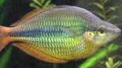 rainbowfish-profiles.jpg